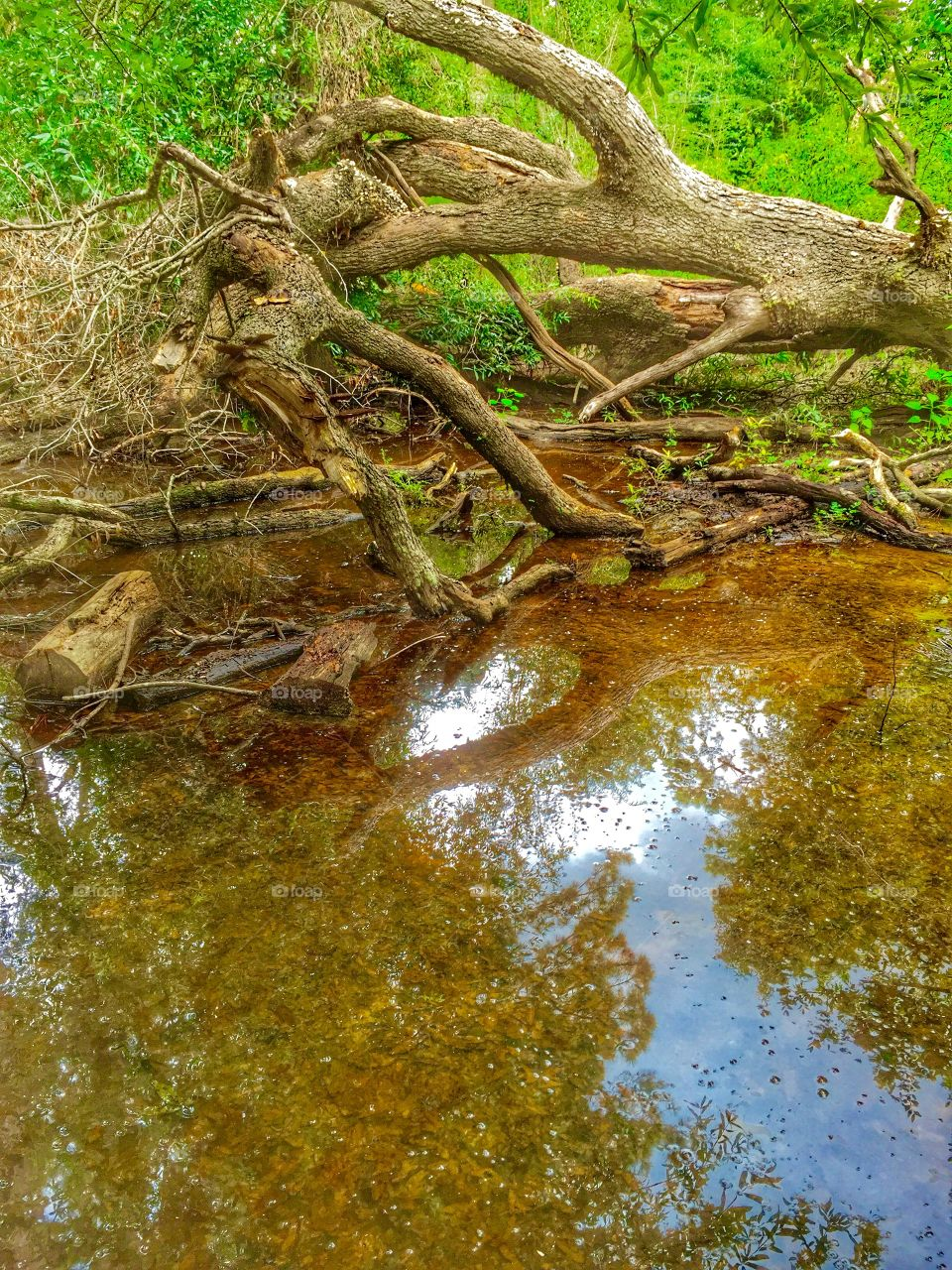 A tree that had fallen in the wood that has water under it that leaves a reflection