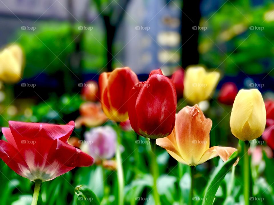 Spring tulips at New York City