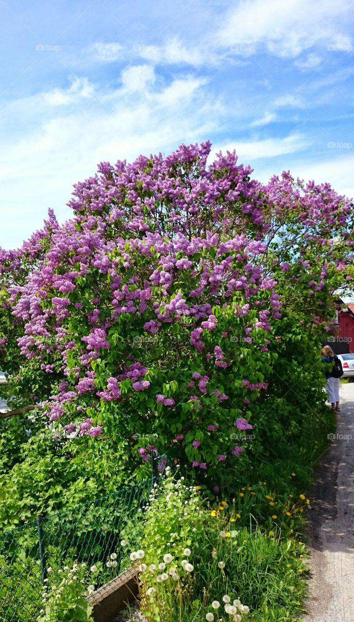lilacs blossom . lilacs blossom