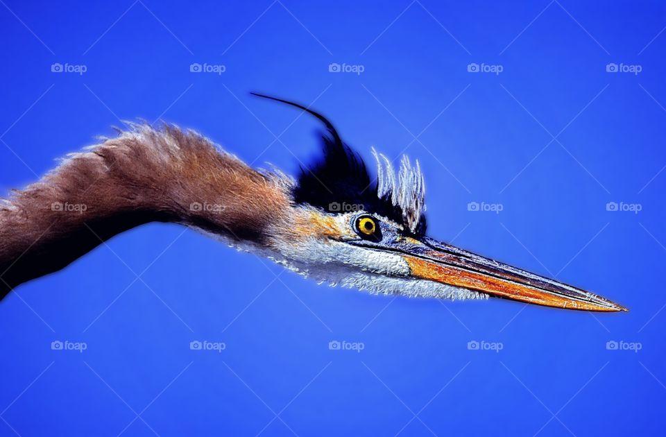 Head only portrait of a Purple Heron.