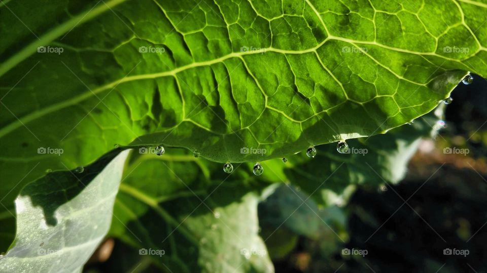 Water drops in leaf
