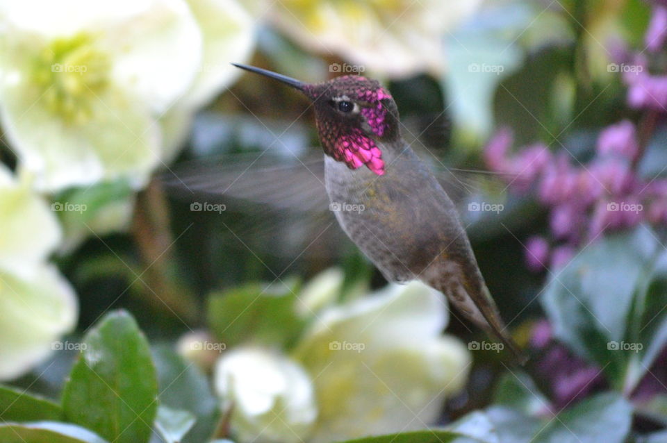 Hummingbird inflight transparent wings in motion winter rose