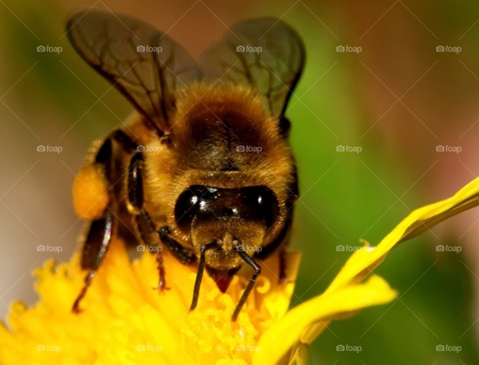 Bee collects pollen from a yellow flower