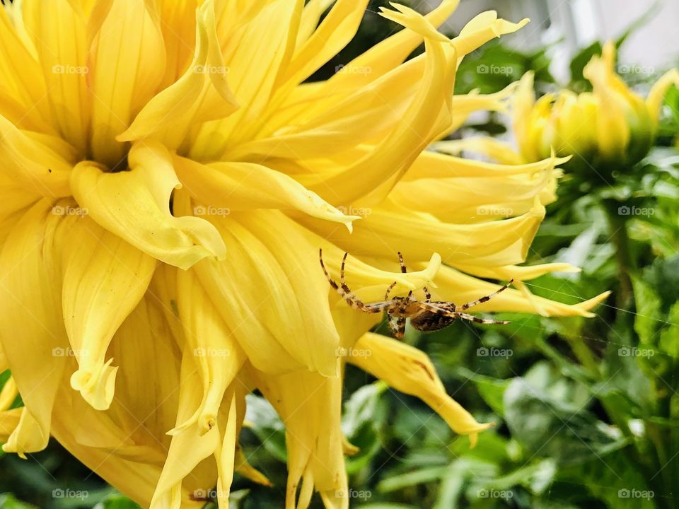 Beautiful Yellow Dahlia With A Spotted Spider