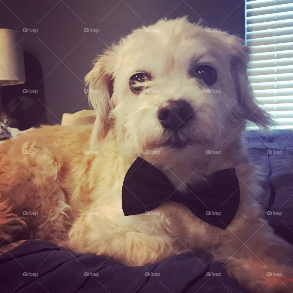 Fancy dog ready for the wedding