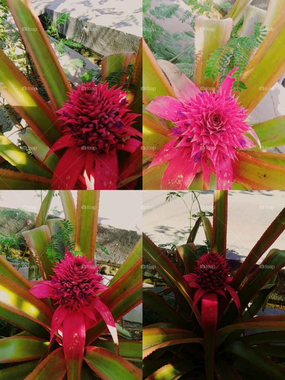 this is a pict of pinapple flower