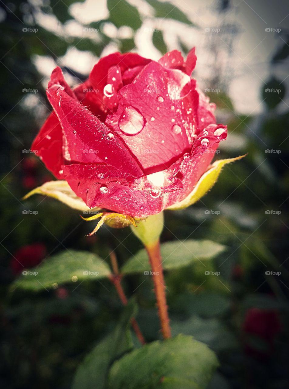 A rose under the rain.