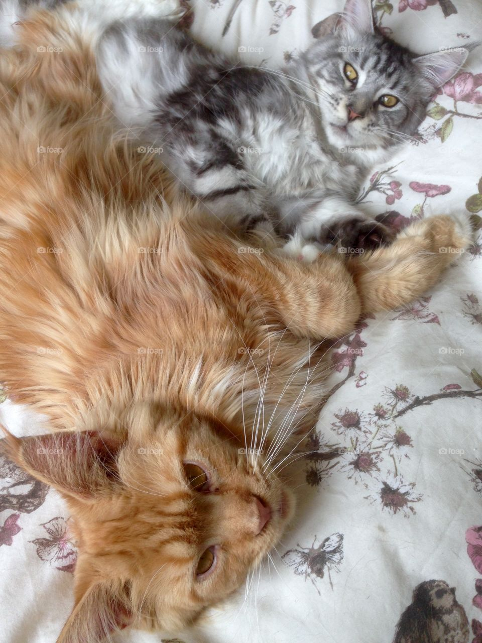 Mainecoon double trouble
