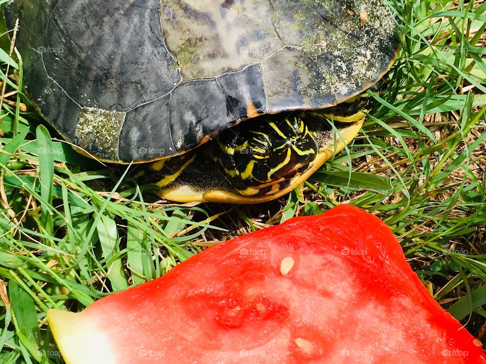 Green Turtle eating pink watermelon 🍉 in Florida 🐢