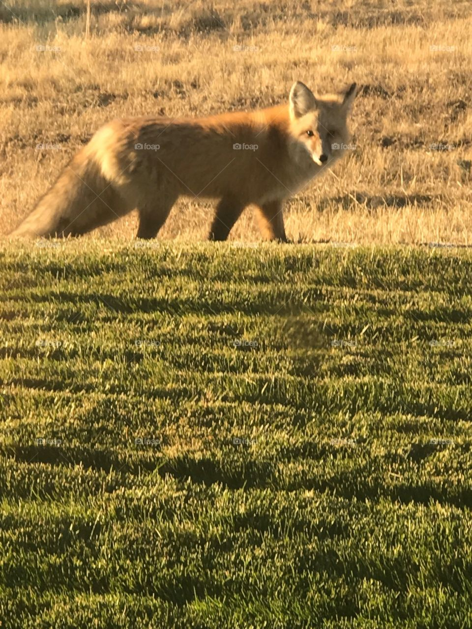 fox in the yard. this little girl came for a visit this afternoon.