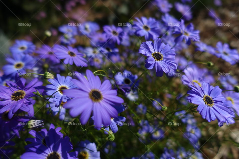 Purple wildflowers called Swan River Daisy.
