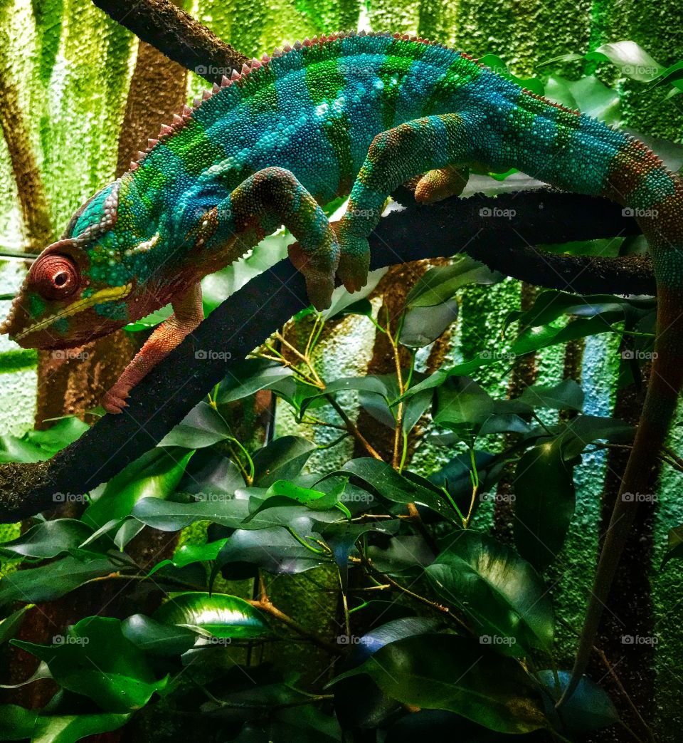 Beautiful chameleon—taken in Grand Rapids, Michigan