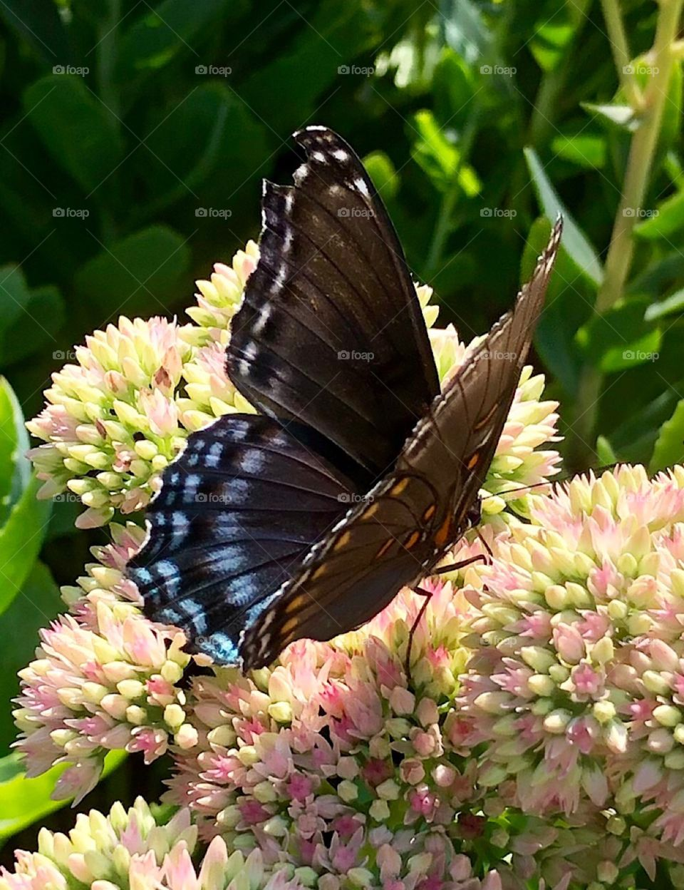 Colorful butterfly and summer garden pink sedum flower