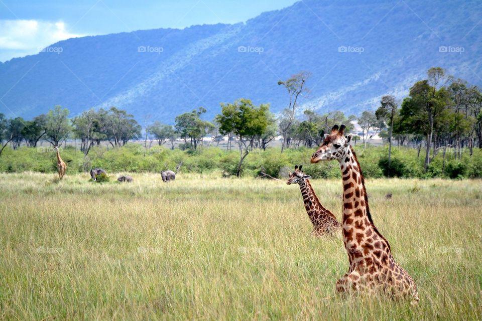 View of giraffe in landscape
