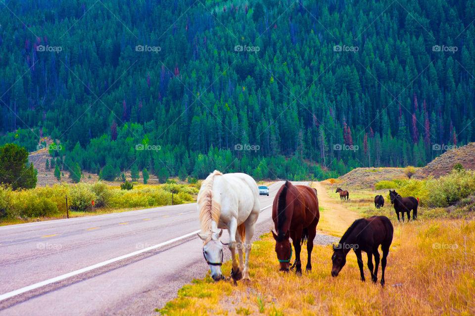 Horses walking in Yellowstone