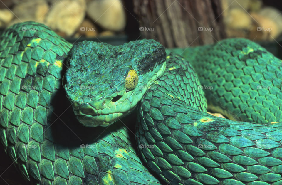 Portrait of a green boa constrictor snake.