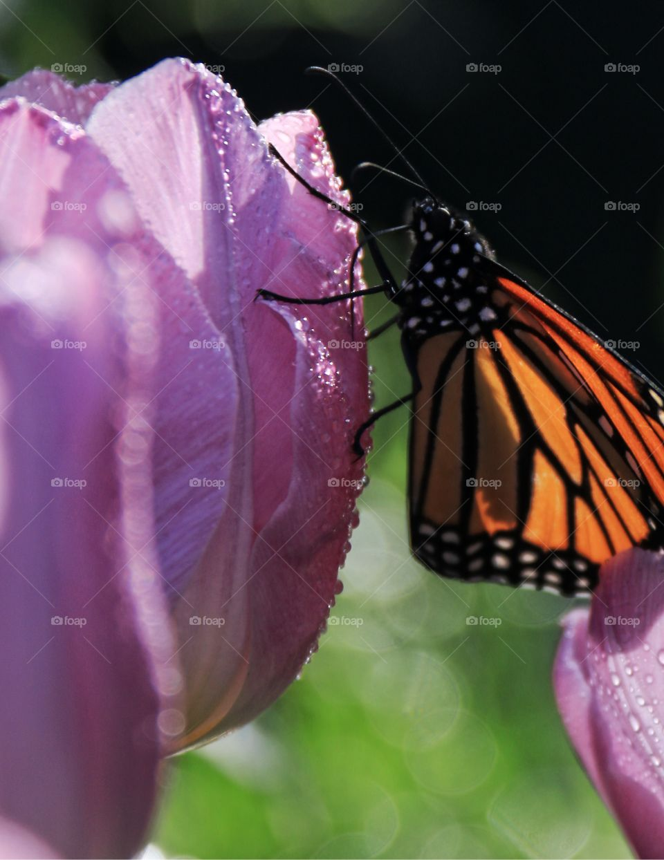 An orange monarch butterfly on a lavender coloured spring close-up macro