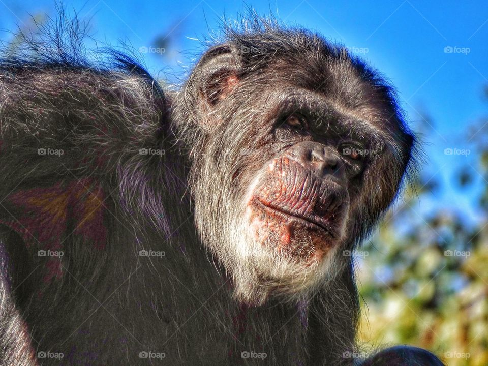 Gaze Of An Ape. Thoughtful Chimpanzee