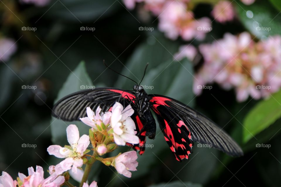 Vivid black and dark pink   red butterfly atop delicate pink blurred background technique
