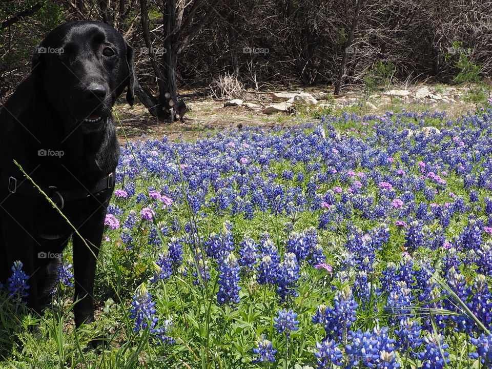 Our black lab Harry in the bluebonnets