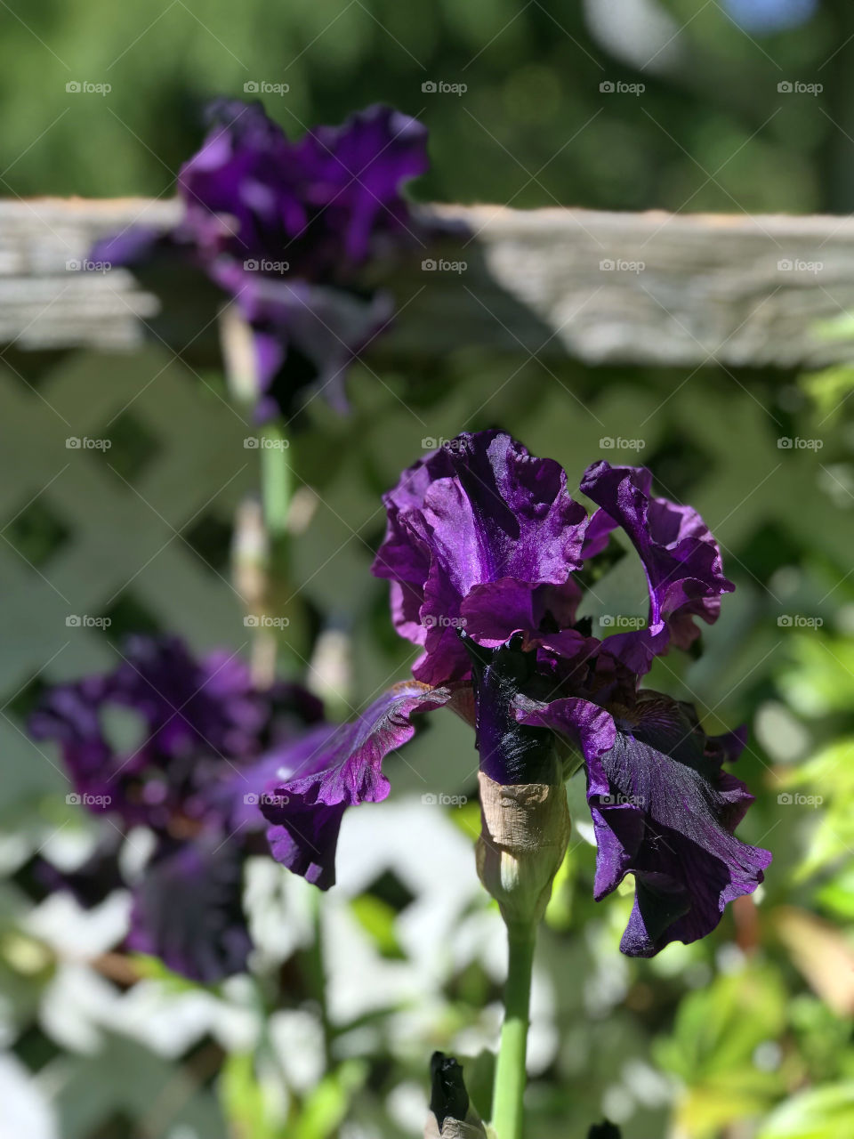 A shot of a trio of beautiful purple irises. The flower in front is in focus while the other two blooms are slightly blurred in the background. The greenery against the white lattice provides contrast & focuses all attention on the blooms.