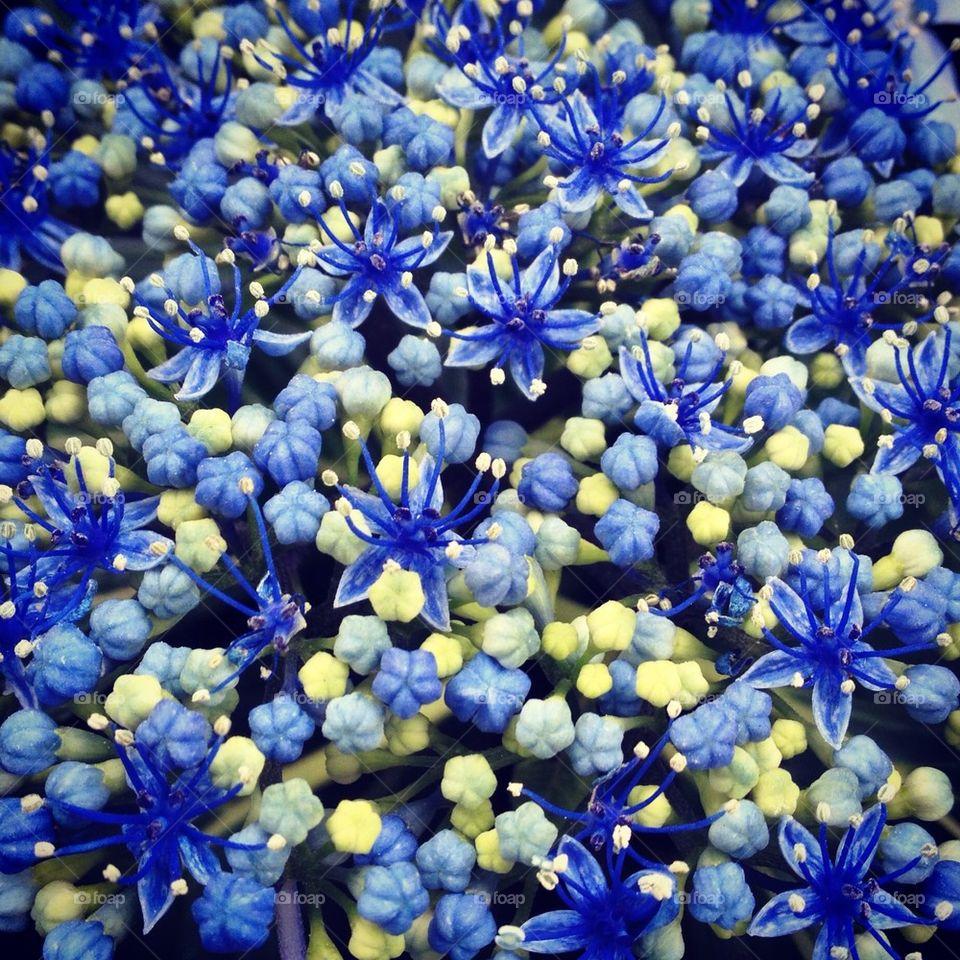 Tiny flowers of hydrangea.