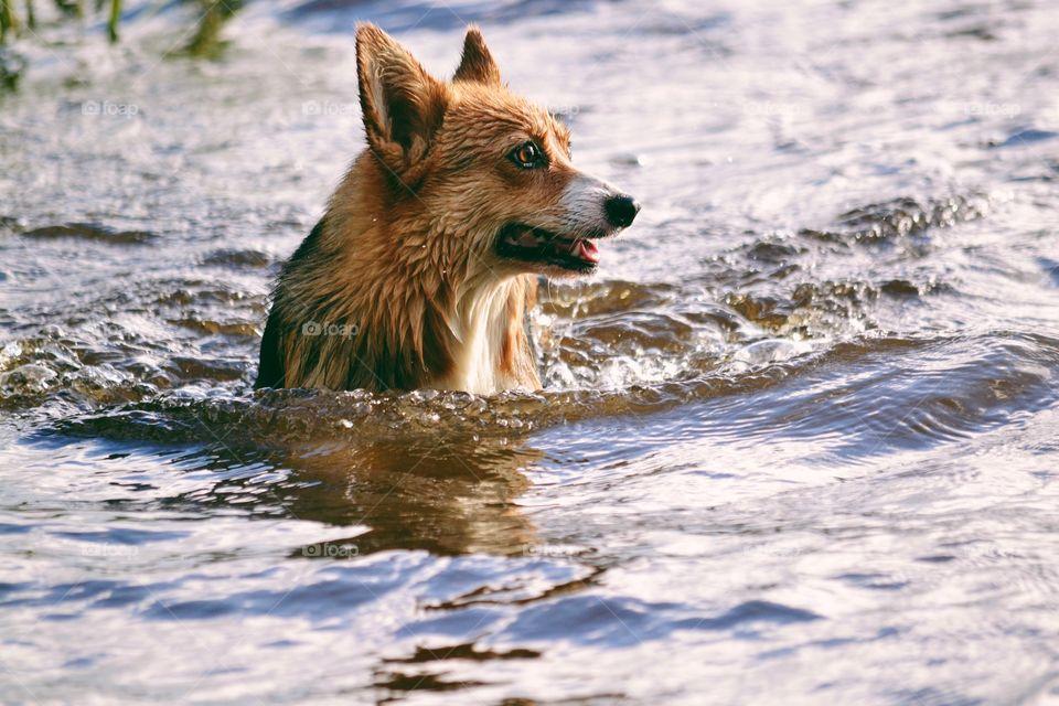 Corgi swimming in the lake