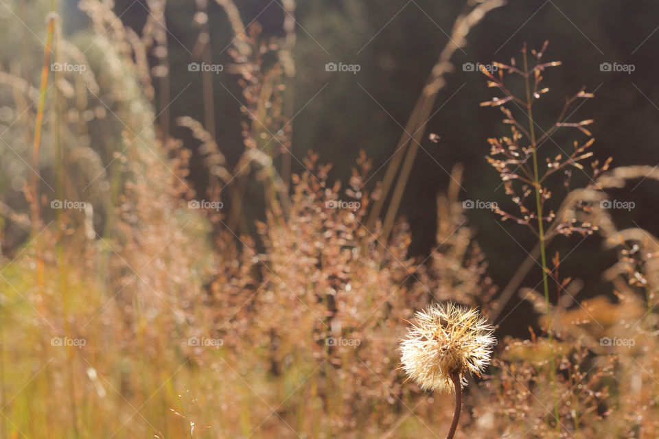 Golden hour, daylight, dandelion and grass, autumn