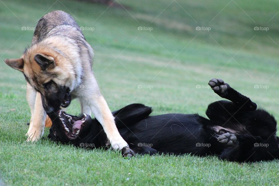 Two German Shepherd brothers wrestling around in the grass.