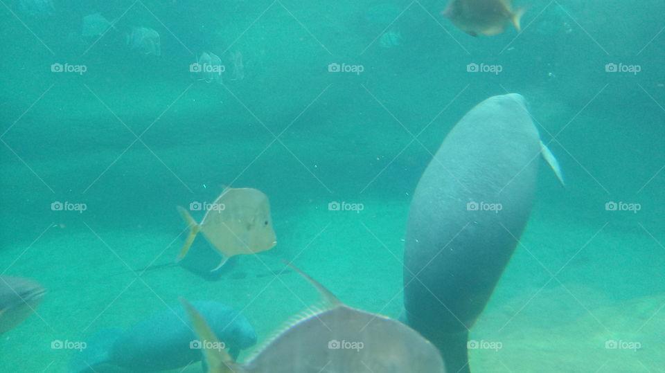 Manatee and fish