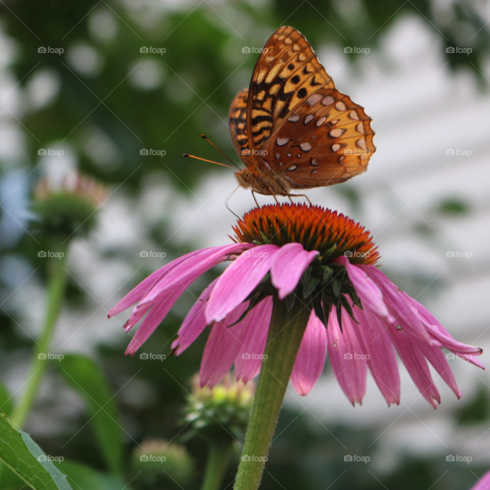 Summer- Butterfly and cone flower.