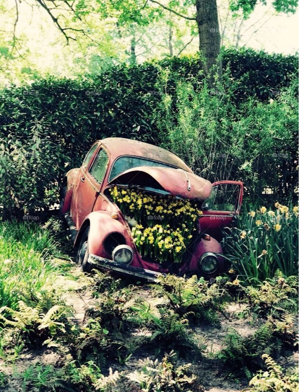 Amsterdam - red Volkswagen Beetle crashed with yellow daffodils