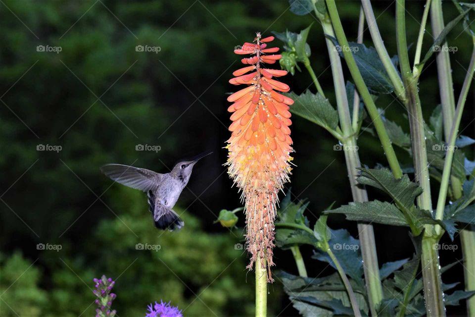 hummingbird in flight  by hot poker orange flower July 26th 2018
