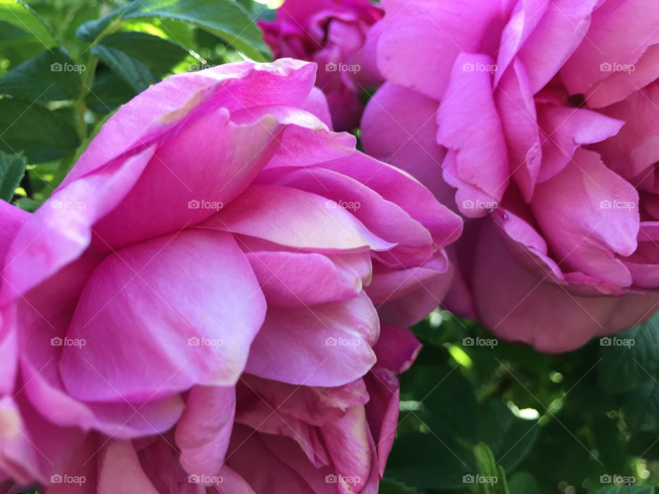 Pink flower blooming in the garden