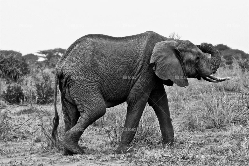 italy wildlife wild elephant by olijohnson