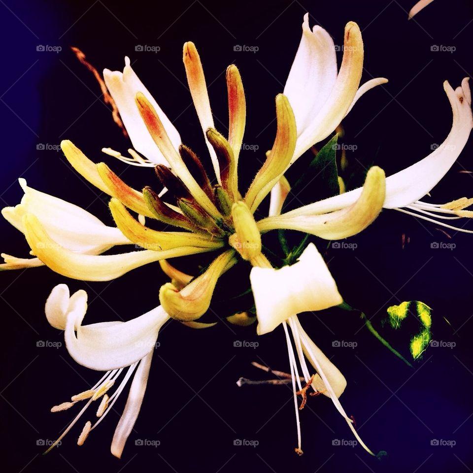 sweden flower båstad kaprifol by smartini65