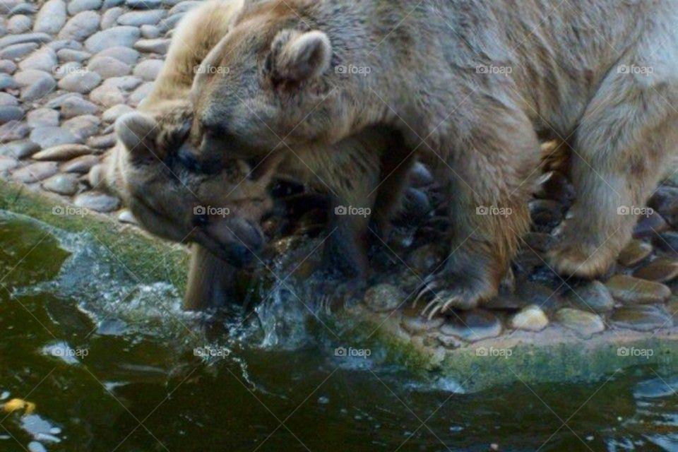 German Bears