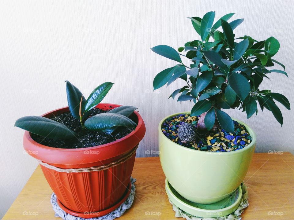ficus plant brings joy