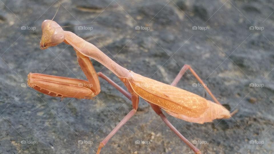 Close-up of a bright color praying mantis