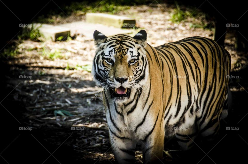 Tiger. Beautiful picture of a tiger