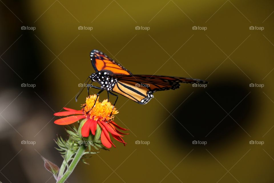 A vividly coloured bright orange monarch butterfly wings extended on a flower macro closeup image with lots of room fir text or copy