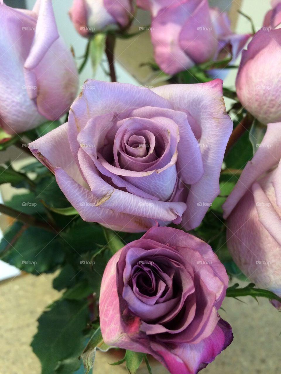 Purple Roses close up