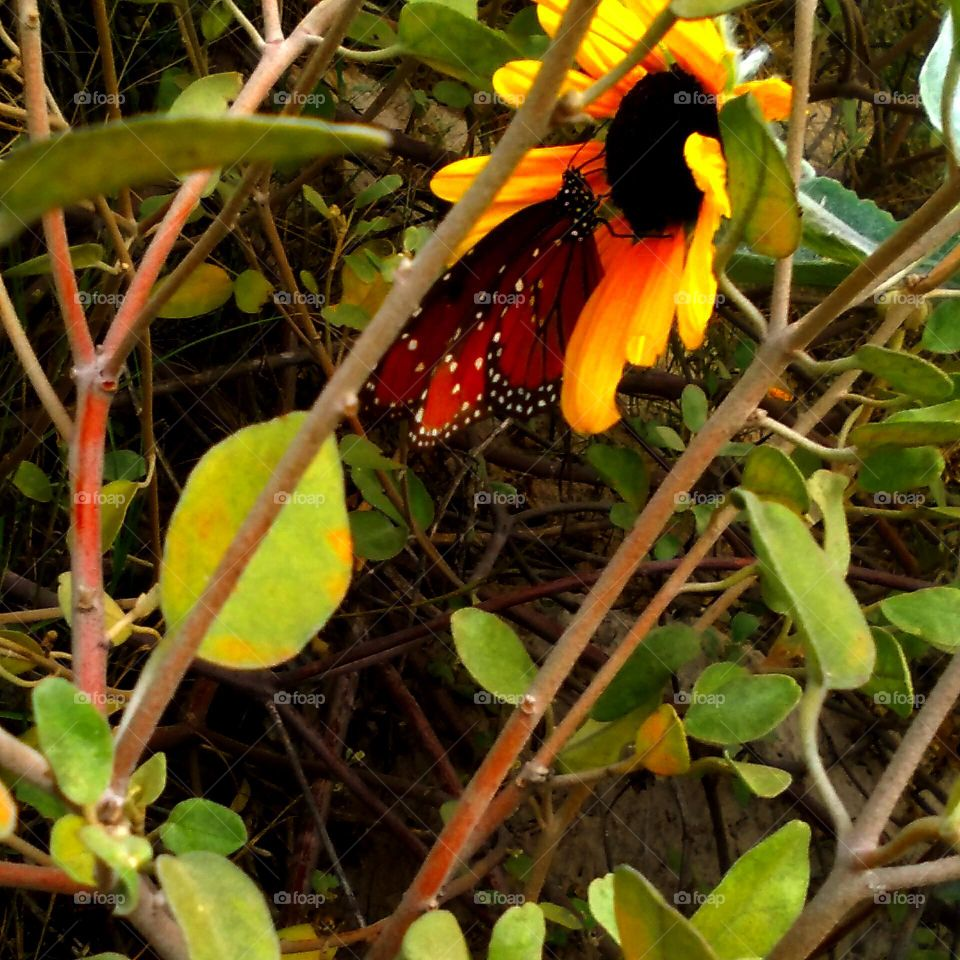 Monarch Butterfly At Wild Sunflower