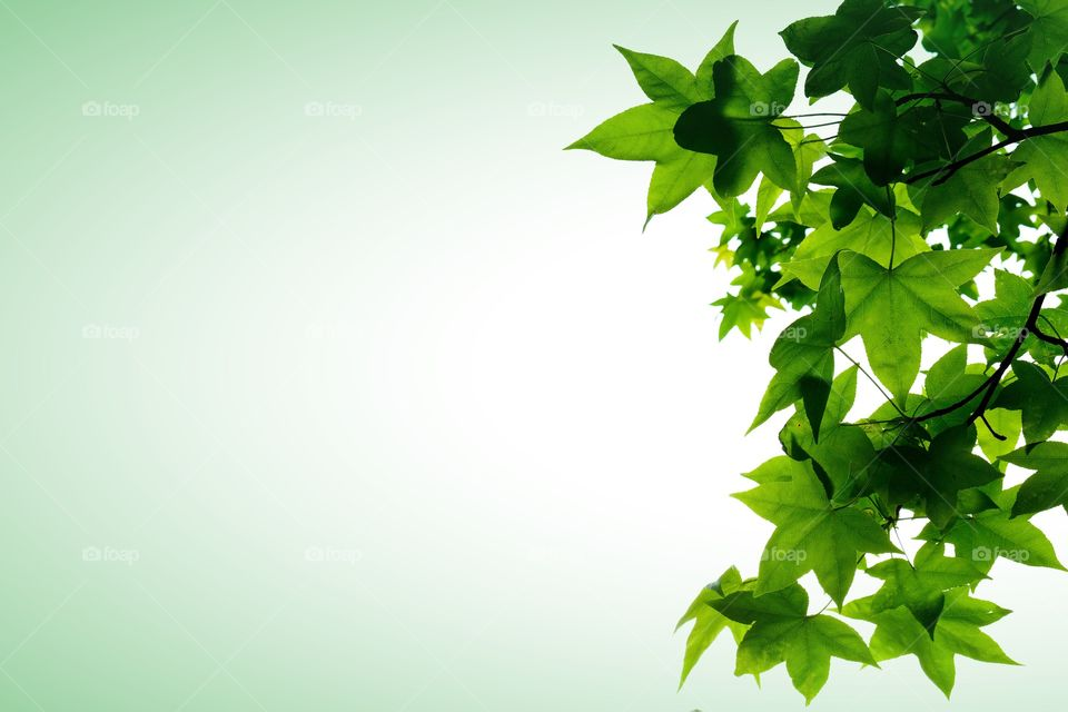Background image with lush green foliage or leaves of an American Sweetgum tree in North Carolina. Isolated on white with a subtle green vignette and plenty of text space.