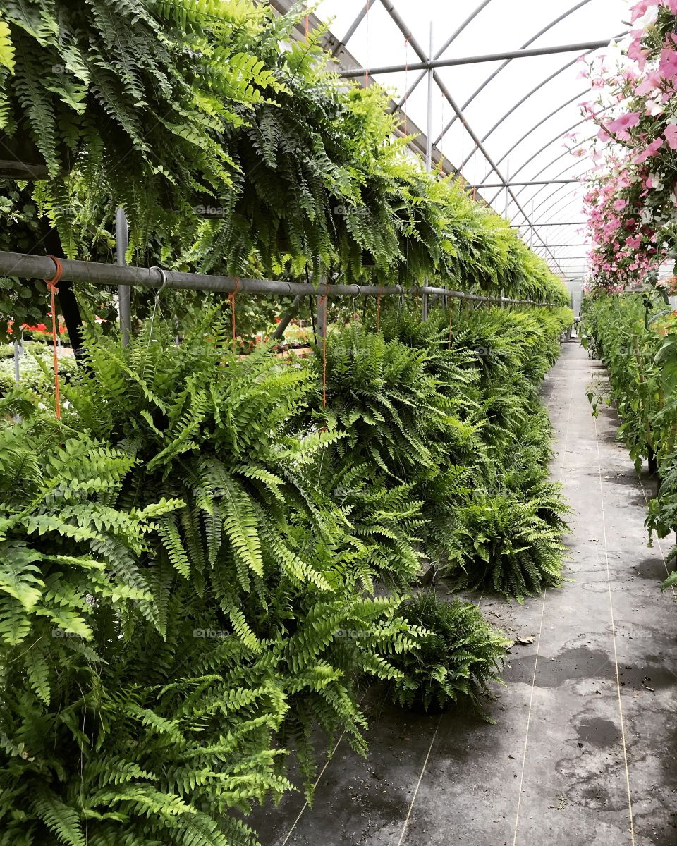 Green Ferns at the greenhouse