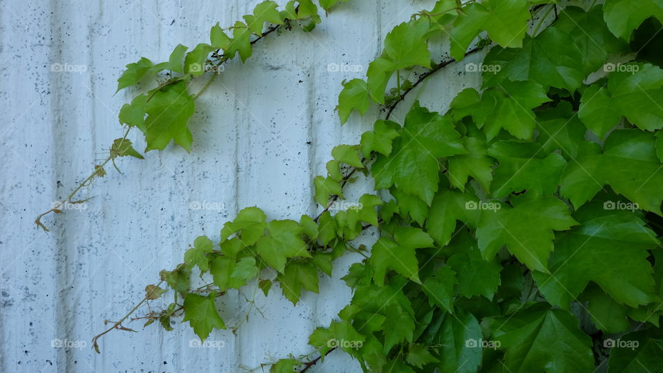 Grape vine taking over an old wall