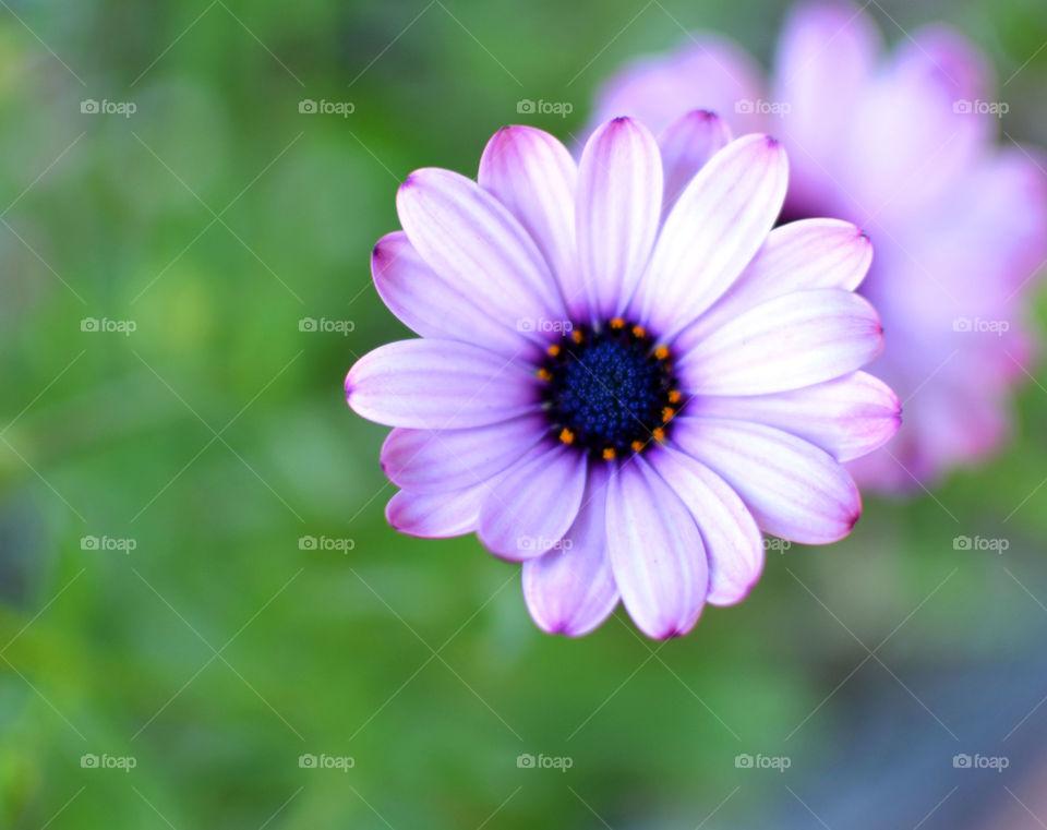 Purple flower . Purple flower