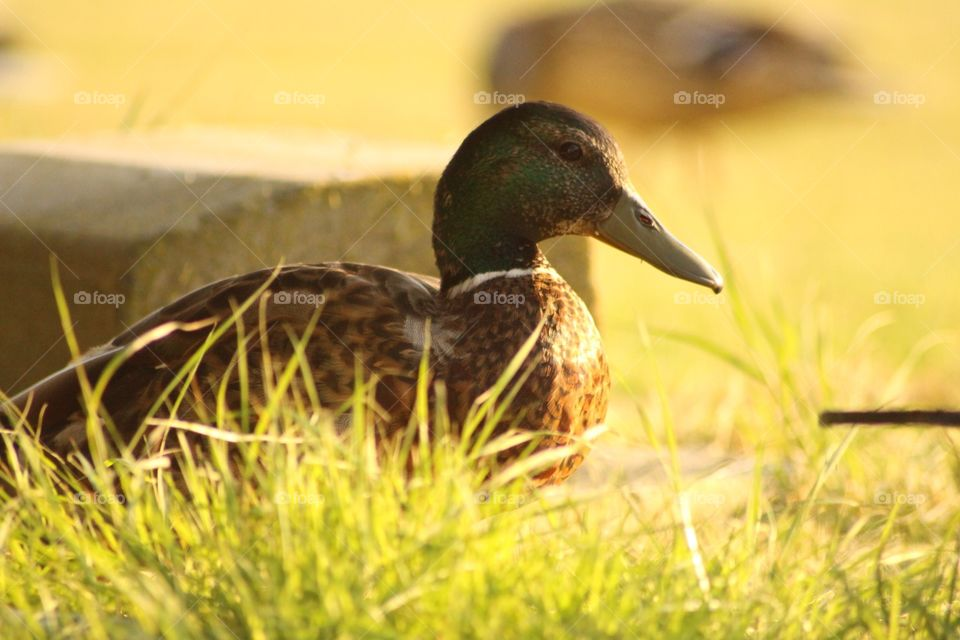 Sunbathing duck . Caught this snap in Leysdown England ! Enjoy