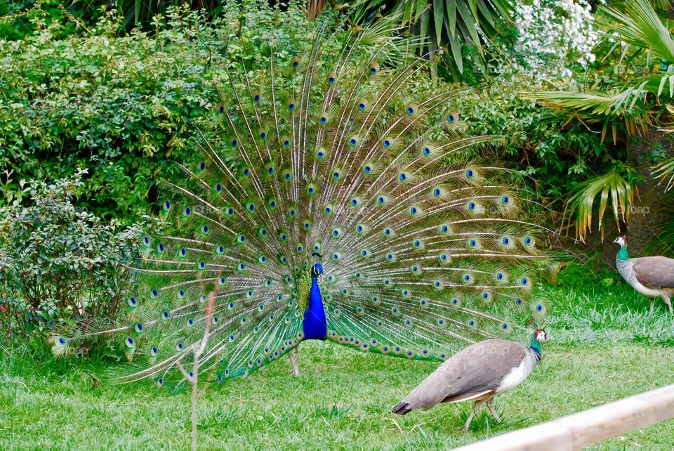 Close-up of peacock and peahen
