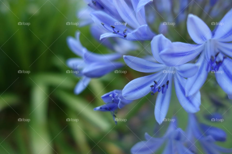 Bluish purple agapanthus flowers with green leaves